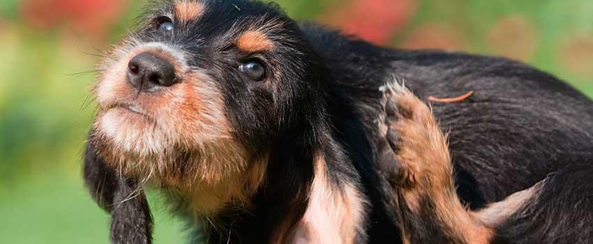 FleaMail best flea and tick for Aussie dogs