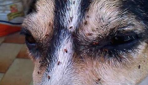 Australian dog with fleas